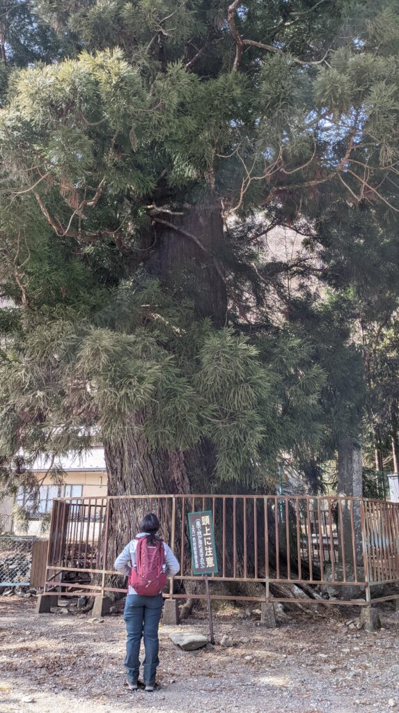 精進の大杉